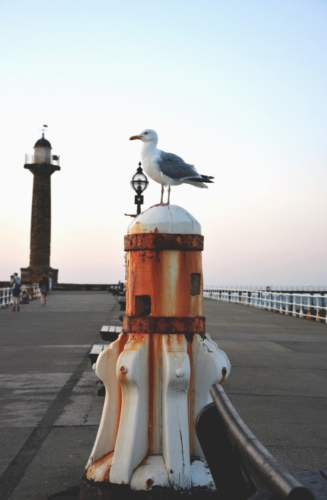 Seagull in Whitby on the pier watching out for someone to drop some chips